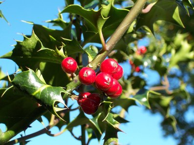 """Ilex-aquifolium (Europaeische Stechpalme-1)"" by Jürgen Howaldt. Licensed under Creative Commons Attribution-Share Alike 2.0-de via Wikimedia Commons"