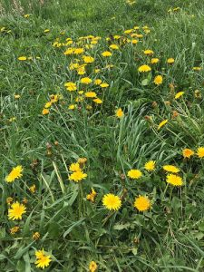Dandelions mark the natural date of Beltaine on our land.  It was 5 days later than the calendar date this year.